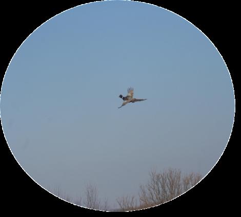 Landing Page Hunting Secrets Pheasant Circle